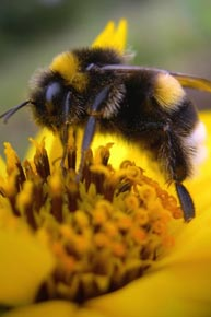 Гороскоп кельтов - Пчела