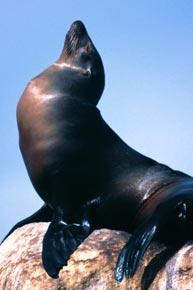 Гороскоп кельтов - Тюлень