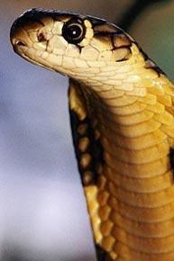 Гороскоп кельтов - Змея